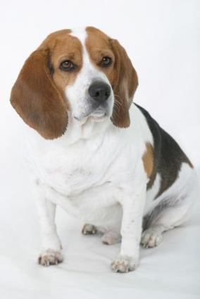 Despre glandele analice ale unui câine