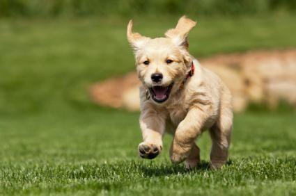 câine alerga