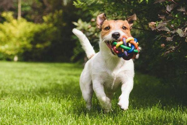 Terrier și jucăria lui