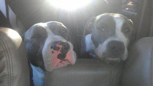 Roxie și Stunna, Terrierii americani Staffordshire aka Pit Bull Dogs (Blue-nas)