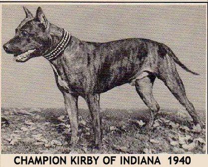 Kirby din Indiana a fost unul dintre cei mai vechi campioni AKC american Staffordshire Terriers. Kirby din Indiana este un exemplu de campion Amstaff. Data 1940.