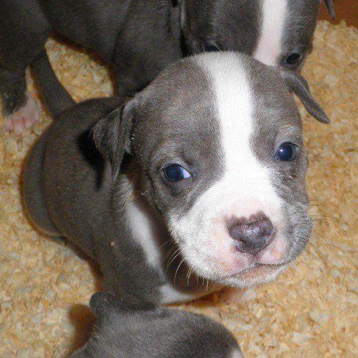 Terrierii americani Staffordshire aka Pit Bull puppies