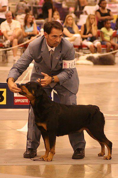 Rottweilers sunt exemple maiestuoase ale aspectului și regalității tipului molloser.