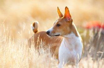 Câine african