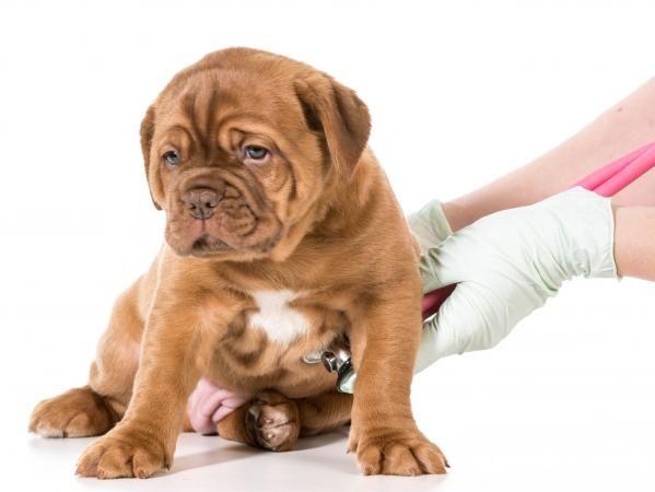 Sânge și mucus la scaunele de câine