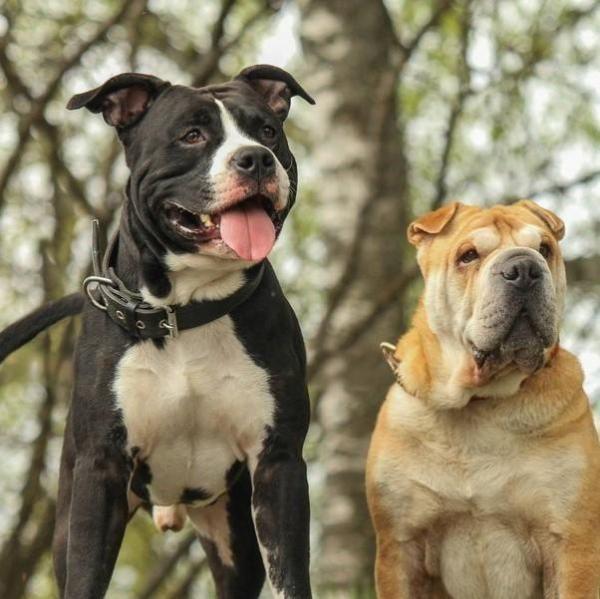 Pot Terrierii American Staffordshire trăi împreună cu alți câini?