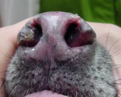 Canine lupus