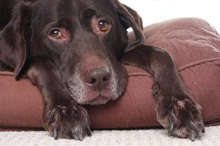 Labradorul bolnav care se odihnește pe o pernă