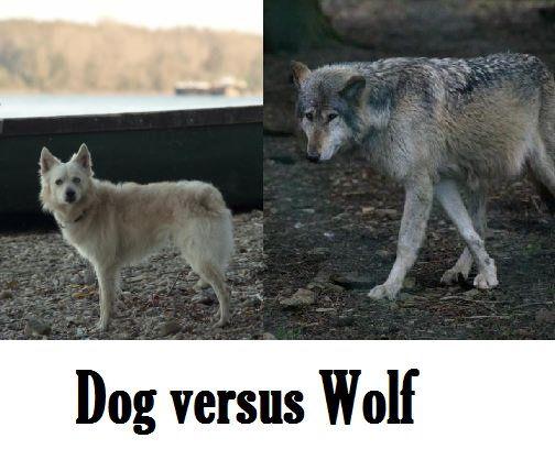 Diferențe între câini și lupi