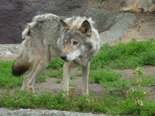 lupi și asemănări cu câini, jak, morguefile.com