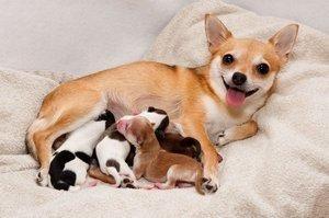 Chihuahua cu gunoi