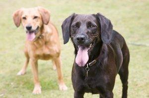 Doi câini