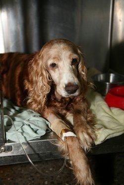 Câine bolnav la clinica veterinară