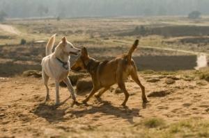 Luptele câinilor