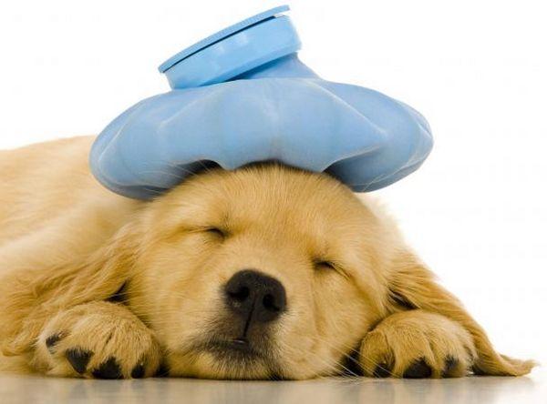 Gripa pentru câini