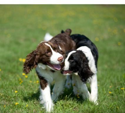 Ciclul de căldură pentru câini și creșterea animalelor