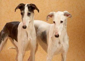 Câini de împerechere îngrijorări și proceduri