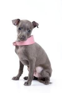 Moda guler câine