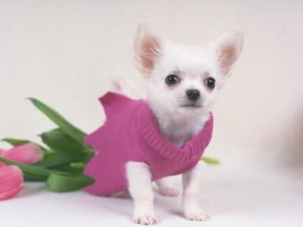 Chihuahua și trandafiri