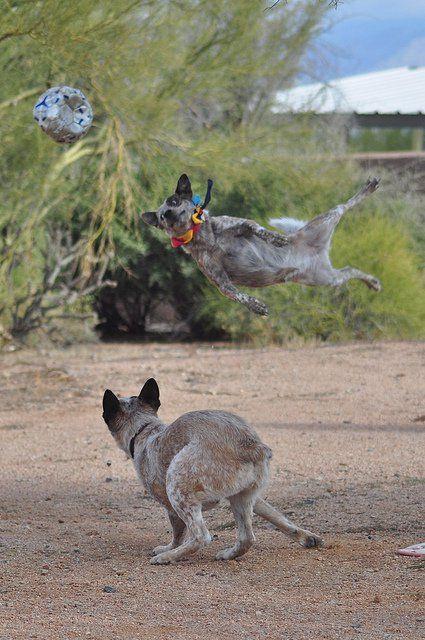 Câini bovine australieni la joacă.