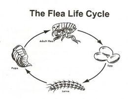 Ciclul de viata al ciclului de viata - aflati despre ciclul de viata in patru etape al puricilor