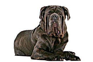 Câini de câine de pază gigantice