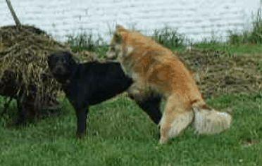 Humpingul poate fi o modalitate de a fi asertiv - notați Rottweilerul` title=