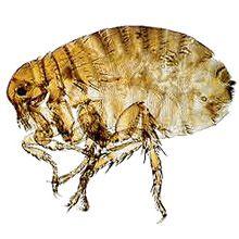 Umane - Pulex Irritans Bites