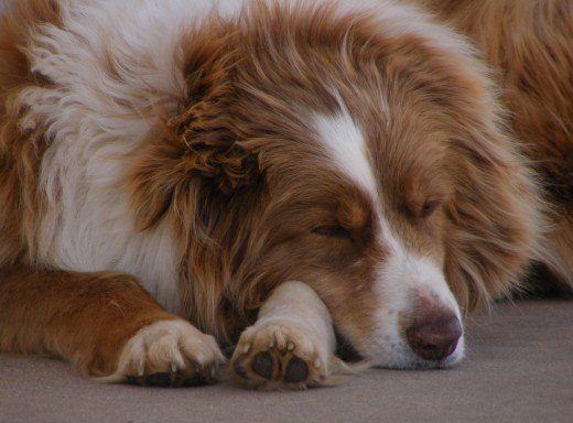 Câinii rămași singuri vor adormi adesea doar în timpul liniștit.