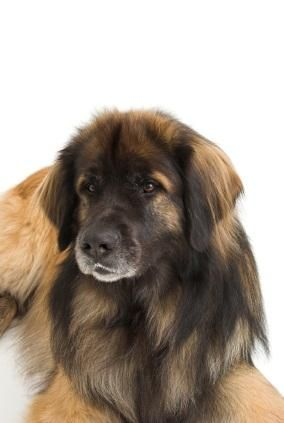 Câine Leonberger