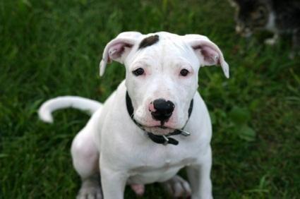 pit bull puppy