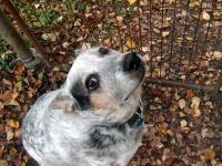 Boala Lyme la câini