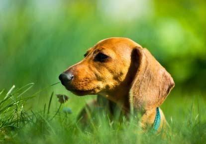 Salvarea de dachshund miniatural