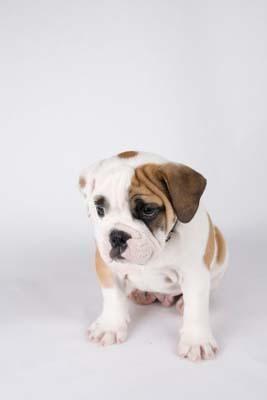 Mini bulldog englezesc