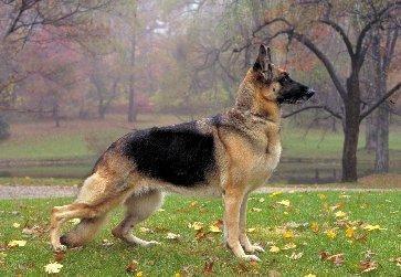 Păstorul meu german