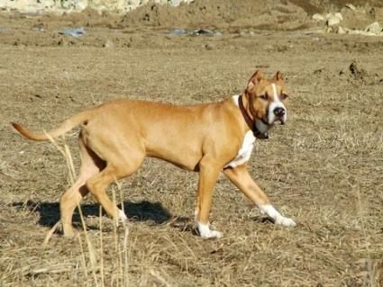 Pit de câine