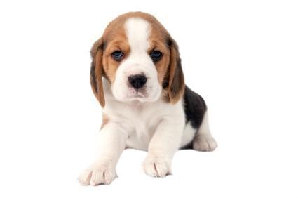 Pui de beagle de buzunar