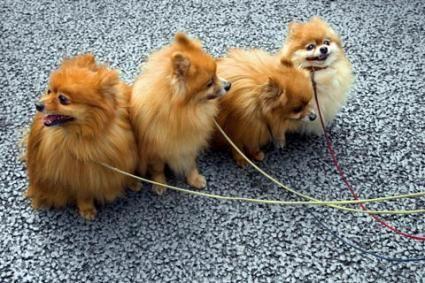 Pomeranian câini