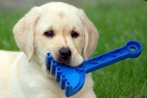 San Diego labrador retriever breeders