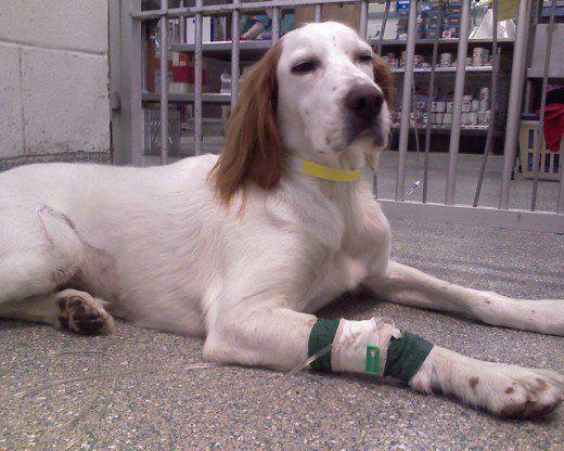 Spunând la revedere pentru totdeauna: cum pot să știu dacă este timpul să-mi eutanalizez câinele?