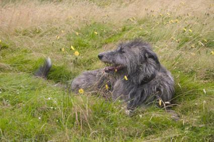 Deerhound scoțian - © Roger Pilkington | Dreamstime.com
