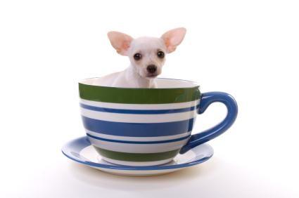 Cel mai mic câine înregistrat