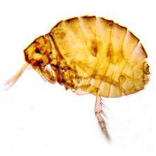 Pule lipsite de urme - mușcături ecidnophaga gallinacea