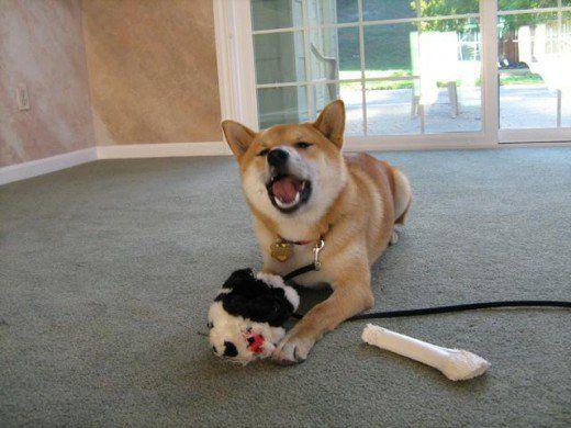 Dacă vom corecta câinele pentru a da semnale de avertizare și pentru a comunica în mod corespunzător neliniștea lui, el poate decide să sări peste toți pașii din mijloc și să meargă direct într-un atac la următoarea întâlnire cu un alt câine.