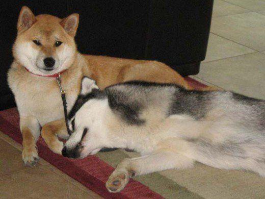 Shiba Inu Sephy și Husky Sharia sibiene sunt cei mai buni prieteni.