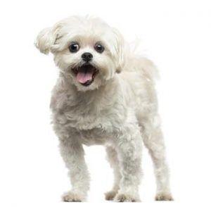 Simptomele unui câine în nebunia căldurii.