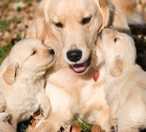 Simptomele pe parcursul sarcinii câinilor