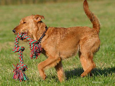 Câine cântând în câmp