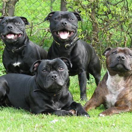 Tipuri de câini terrier: rasele terrier în întreaga lume