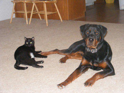 Câini de câine care nu se împacă cu pisicile